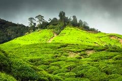Montagnes de Cameron de plantation de thé, Malaisie Images stock