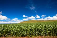 Montagnes de collecte de maïs de nourriture Image libre de droits