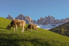 Montagnes de dolomite avec manger des vaches Photographie stock libre de droits