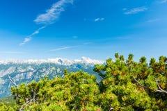 Montagnes de la Slovénie au-dessus du pin dans le premier plan Pins frais avec la montagne de la Slovénie en parc national de Tri images libres de droits