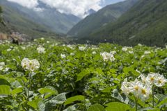Montagnes de ND de fleur en vallée de Spiti Image libre de droits