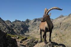 Montagnes et faune de Gredos Photo libre de droits