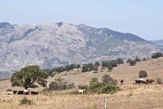 Montagnes et vaches de Nebrodi Photos libres de droits