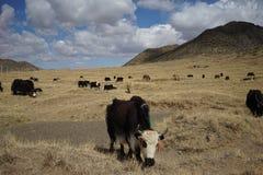 Montagnes et yaks au Thibet Image libre de droits