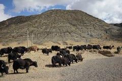 Montagnes et yaks au Thibet Photos libres de droits