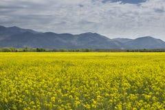 Montagnes jaunes de ciel bleu de gisement de graine de colza Photographie stock