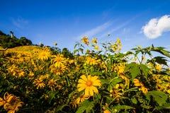 Montagnes jaunes rougeoyantes de diversifolia de Tithonia pleines belles, qui comme fond photo stock