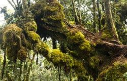 Montagnes moussues Malaisie de Cameron de forêt Images libres de droits