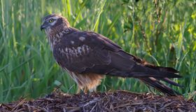 Montagu's harrier female sits on hay stack. Montagu's harrier female side view on hay stock photos