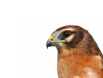 The Montagu's harrier Stock Image