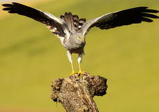 Montagu's Harrier 379 Stock Image