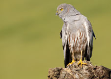 Montagu's Harrier 457 Royalty Free Stock Images