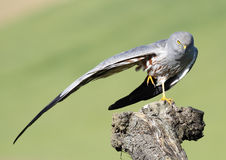 Montagu's Harrier 547 Royalty Free Stock Image
