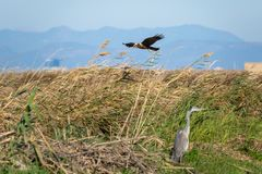 Montagu`s Harrier Circus aeruginosus and Gray Heron Ardea Cinerea on flooded fields of Albufera Natural Park, Valencia, Spain stock image