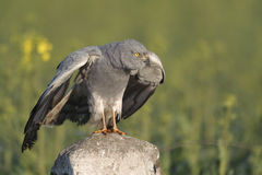 Montagu`s harrier Circus pygargus in its breeding territory - behavioural reaction. Horizontal portrait of adult male standing on railway pole and reacting at royalty free stock image