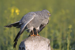 Montagu`s harrier Circus pygargus in its breeding territory - behavioural reaction Stock Photography