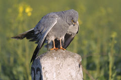 Montagu`s harrier Circus pygargus in its breeding territory - behavioural reaction Royalty Free Stock Photo
