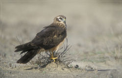 Montagu's harrier, Circus pygargus, Stock Photo