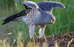 Adult male Montagu`s harrier exercises himself with stretching and lifting wings royalty free stock image