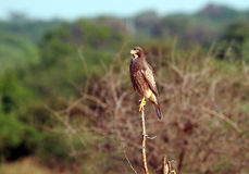 Montagu's harrier on the lookout for prey Royalty Free Stock Photo