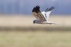 Montagu's Harrier Stock Photos