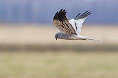 Montagu's Harrier Stock Photos