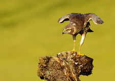 Montagu's Harrier1709 Royalty Free Stock Images