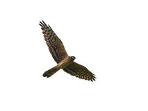 Montagus harrier (Circus pygargus) Royalty Free Stock Photo