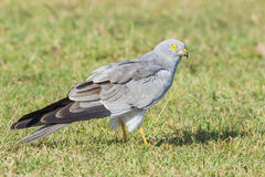 Montagu's Harrier - Circus pygargus Stock Photos