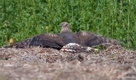 Montagus harrier female lays over hay while sun tanning in field royalty free stock images