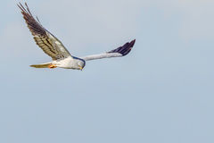 Montagu's Harrier Hunting royalty free stock photos