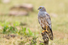 Montagu's Harrier Perched Stock Photo