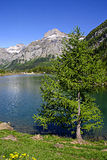 Montain lake. A beautiful scenery at Derborence, swiss Alps, lake and pinetree royalty free stock images