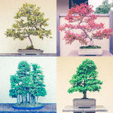 Montaje cuadrado de cuatro árboles de los bonsais imágenes de archivo libres de regalías