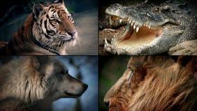 Montaje peligroso de los animales - león, cocodrilo, tigre, lobo almacen de metraje de vídeo