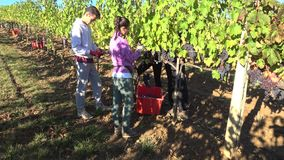 Young men gather grapes. The surroundings of Montalcino, Italy. MONTALCINO, ITALY - SEPTEMBER 21, 2017: Young men gather grapes. The surroundings of Montalcino stock video footage