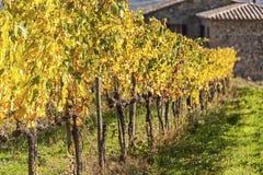 MONTALCINO - TUSCANY/ITALY: 31 DE OCTUBRE DE 2016: Campo de Montalcino, viñedo, árboles de ciprés y campos verdes foto de archivo libre de regalías