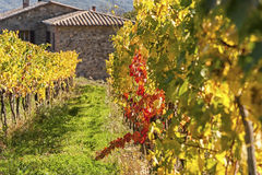 MONTALCINO - TUSCANY/ITALY : LE 31 OCTOBRE 2016 : Campagne de Montalcino, vignoble, arbres de cyprès et champs verts Photographie stock