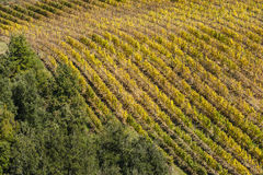 MONTALCINO - TUSCANY/ITALY: 31 OTTOBRE 2016: Campagna di Montalcino, vigna, alberi di cipresso e campi verdi Immagini Stock