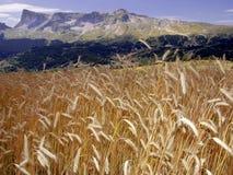 Montan@as devoluy del francés de los alpes del haute de la región del campo de maíz de Francia Fotografía de archivo