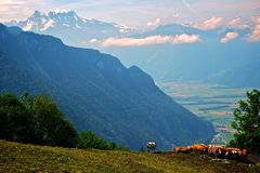 Montan@as suizas con ganado Foto de archivo libre de regalías