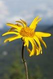 Montana arnikowy Zdjęcia Royalty Free