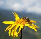 Montana arnikowy Zdjęcie Stock