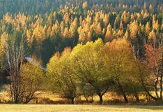 Montana autumn larch trees Royalty Free Stock Photography