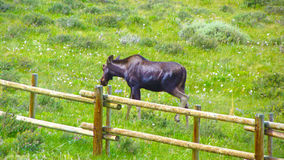 Montana Baby Moose Stock Photos