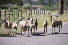 Montana Bighorn Sheep. Group of young Bighorn Sheep cross a rural road in the Rocky Mountains of Montana Royalty Free Stock Photos
