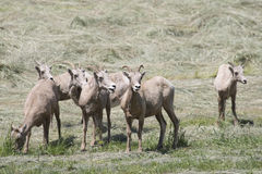 Montana Bighorn Sheep Royalty Free Stock Image