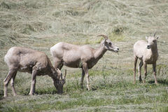 Montana Bighorn Sheep Stock Photo