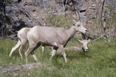Montana Bighorn Sheep Royalty Free Stock Images