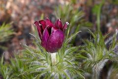 Montana chamber flower bud Stock Photography